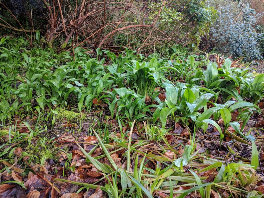 wild garlic in the ferghan mhor garden